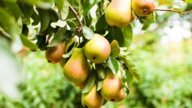 výsadba ovocných stromov v septembri