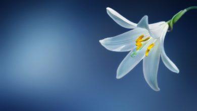 Photo of Ľalia biela – 3 dôvody, prečo ju pestovať. Druhý vás presvedčí!